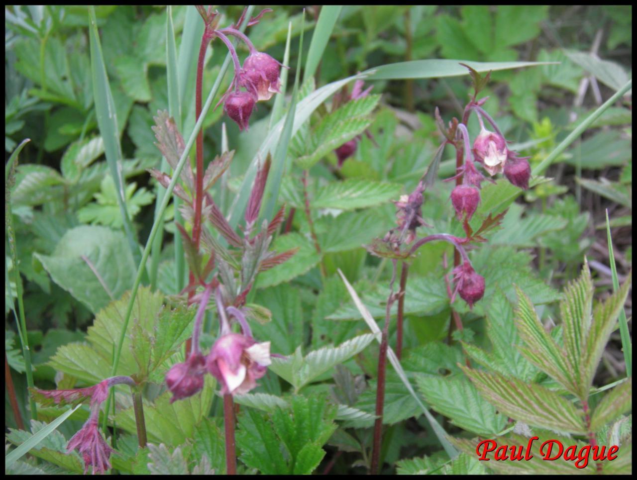 benoite des ruisseaux-geum rivale-rosacée
