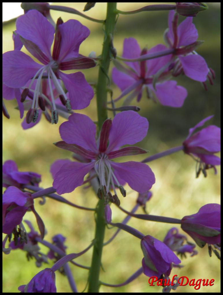 laurier de St Antoine-epilobium augustifolium-onagracée