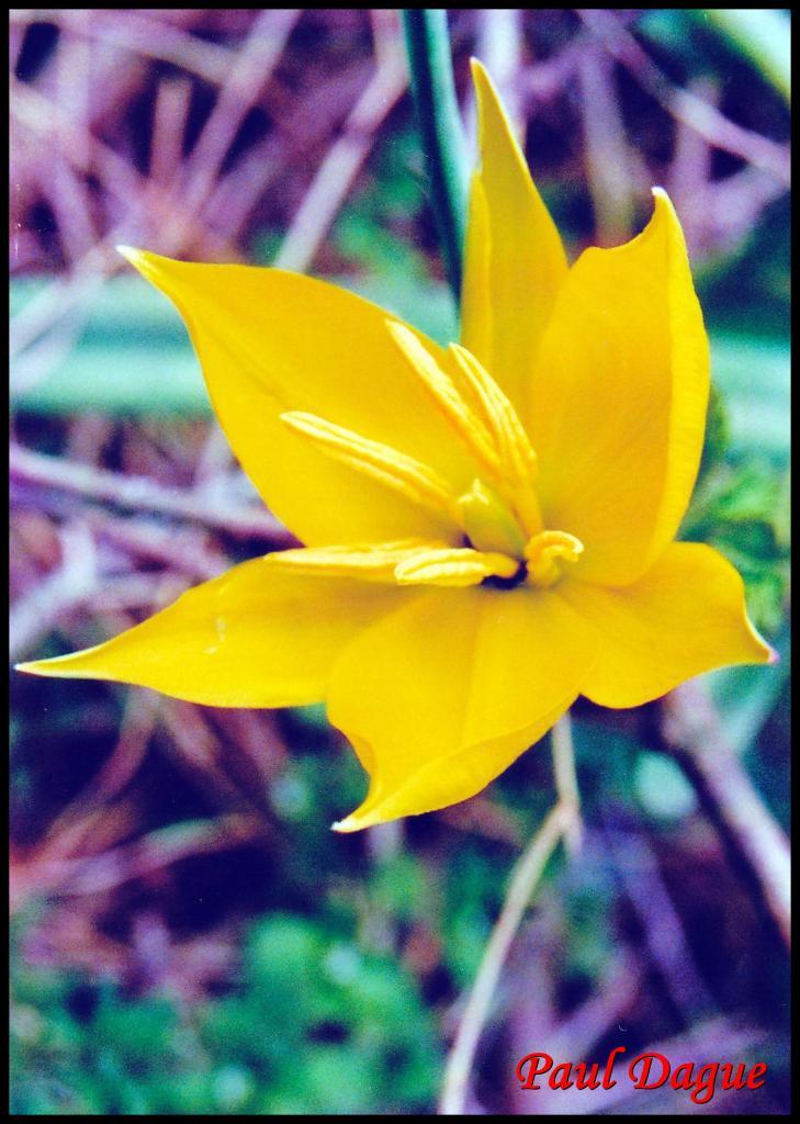 tulipe sauvage-tulipa sylvestris-liliacée