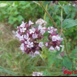 marjolaine ,origan -origanum vulgare-lamiacée