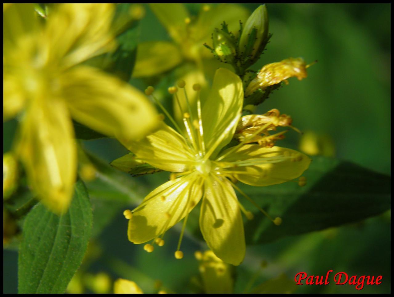 millepertuis velu,hérissé-hypericum hirsutum-hypericacée