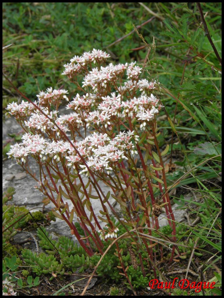 orpin blanc-sedum album-crassulacée