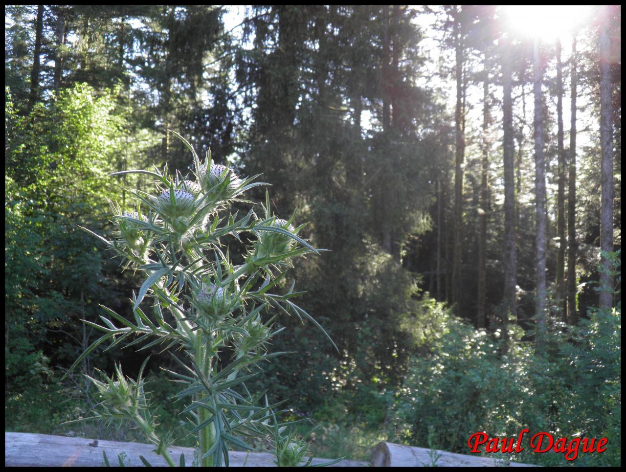 cirse laineux,chardon des anes-cirsium eriophorium-astéracée