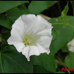 liseron des haies-calystegia sepium-convolvulacée