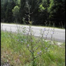 chicorée sauvage-cichorium intybus-astéracée