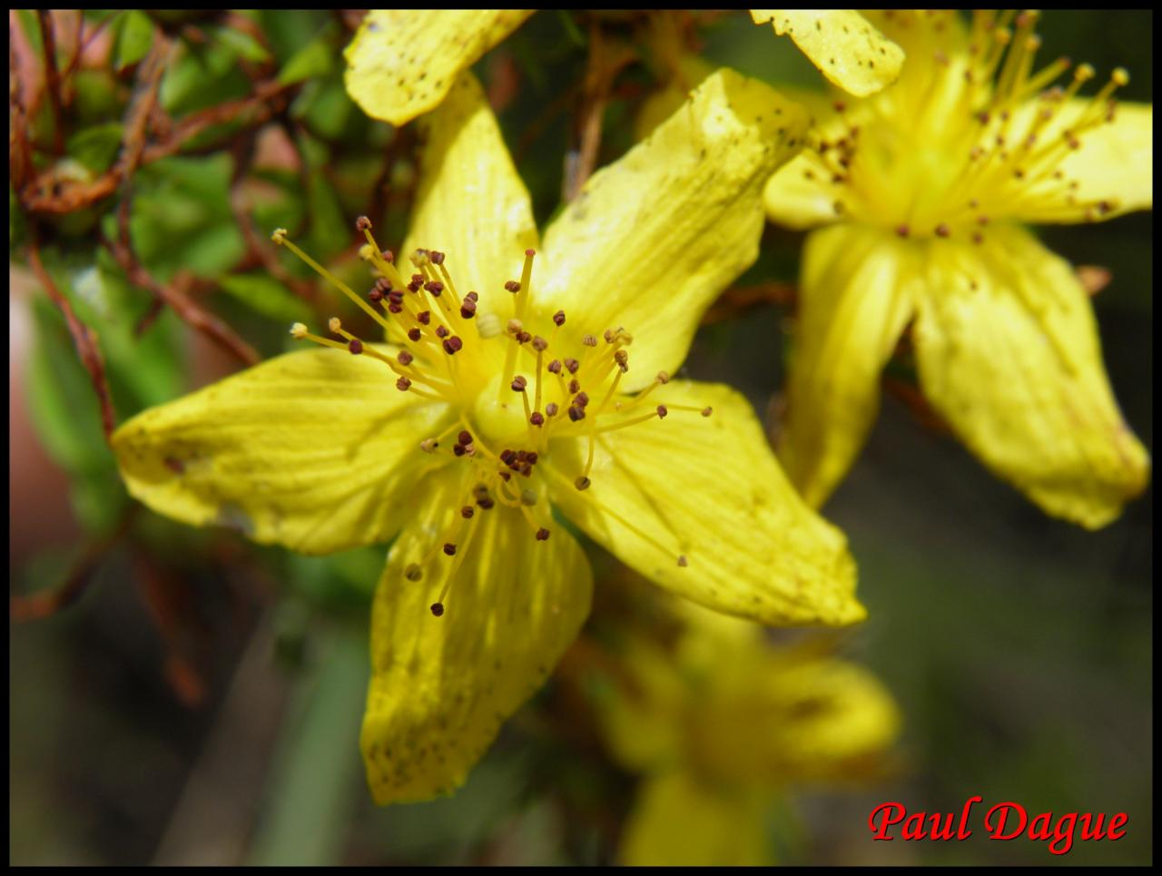 millepertuis maculé-hypericum maculatum-hypericacée