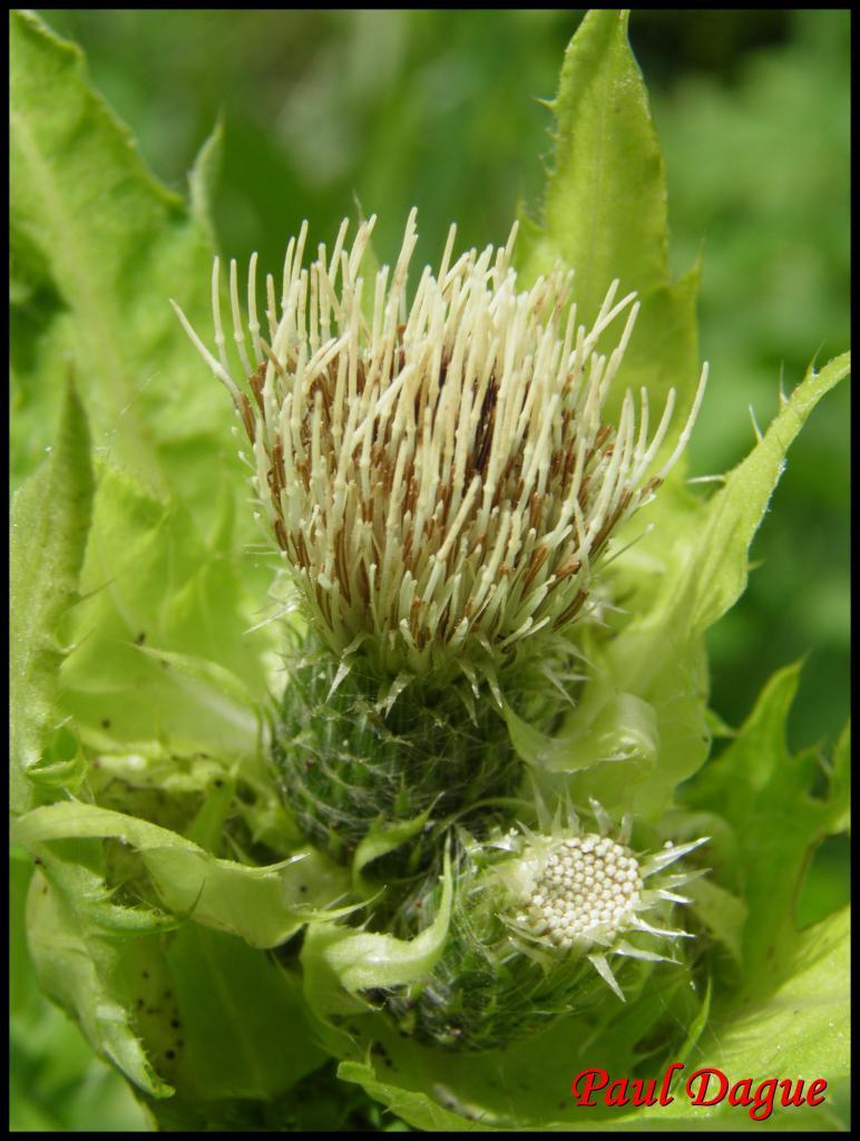 cirse maraicher,faux épinard-cirsium oleraceum-astéracée