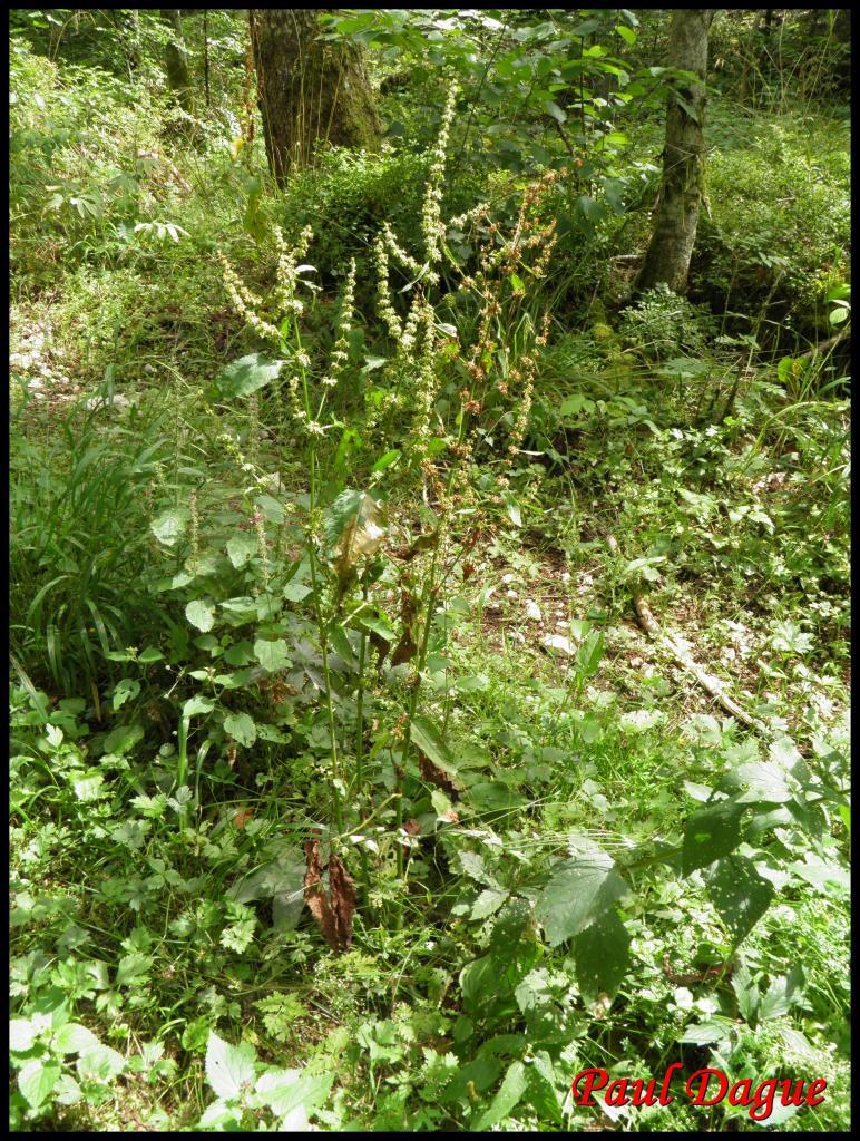 rumex à feuilles obtuses-rumex obtusifolium-polygonacée