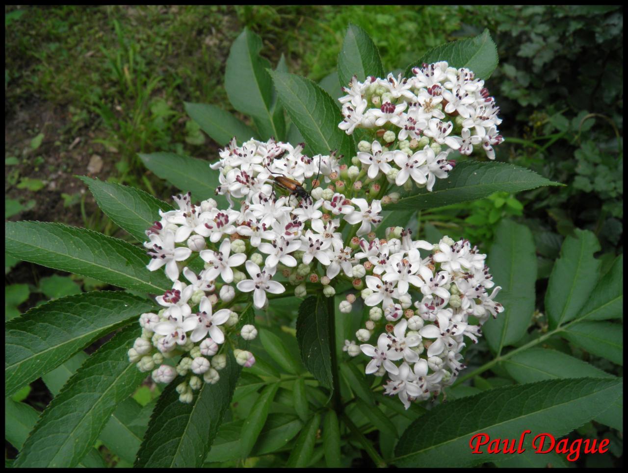 sureau hièble-sambucus ebulus-caprifoliacée