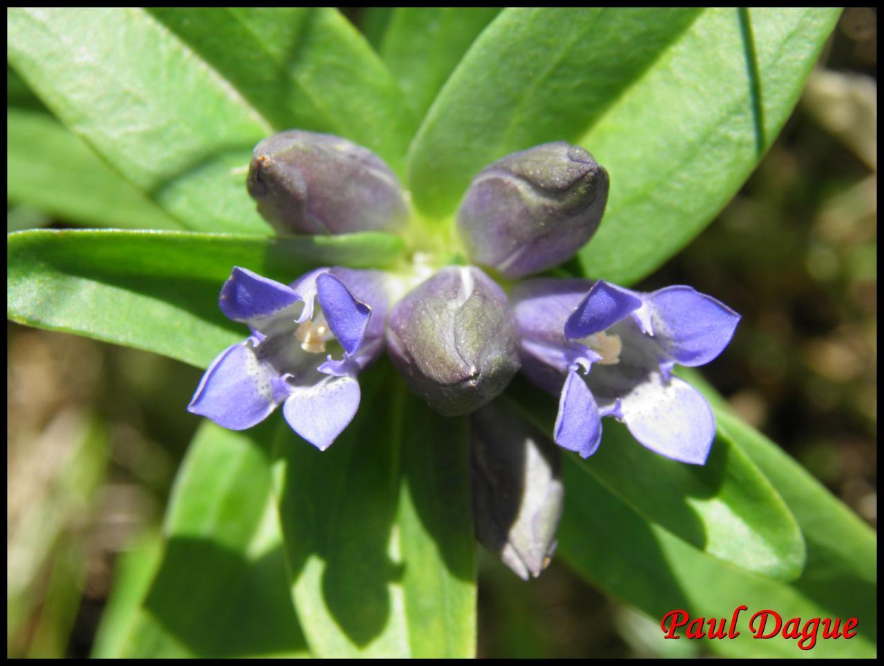 fleurs bleues à 4 pétales ou moins