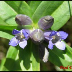 gentiane croisette-gentiana cruciata-gentianacée
