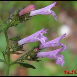 sariette à feuille de menthe-calamintha menthifolia-lamiacée