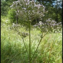 valériane officinale-valeriana officinalis-valerianacée