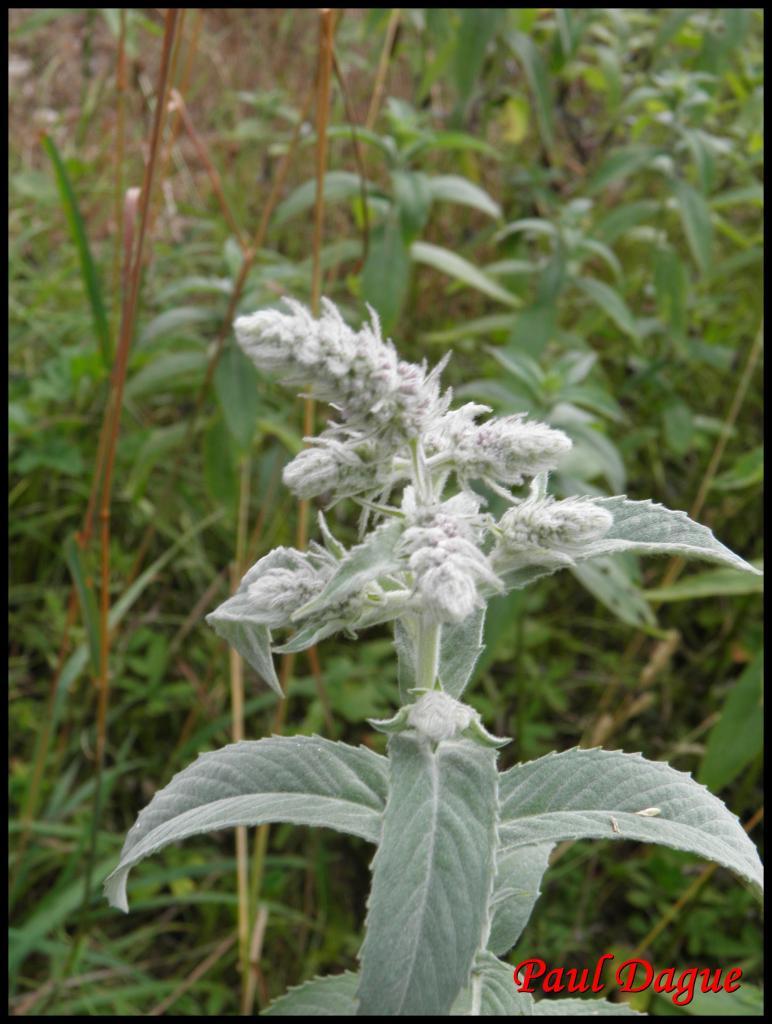 menthe à longue feuilles-mentha longifolia-lamiacée
