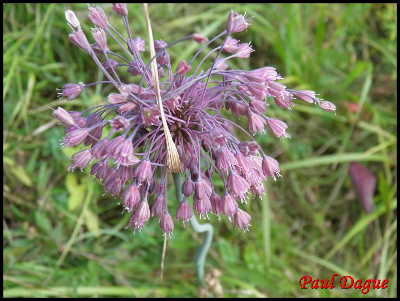 ail carané-allium carinatum-alliacée