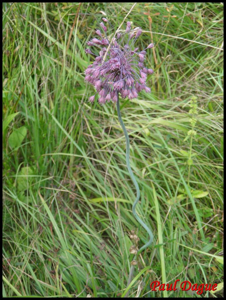fleurs violettes à 6 pétales ou plus