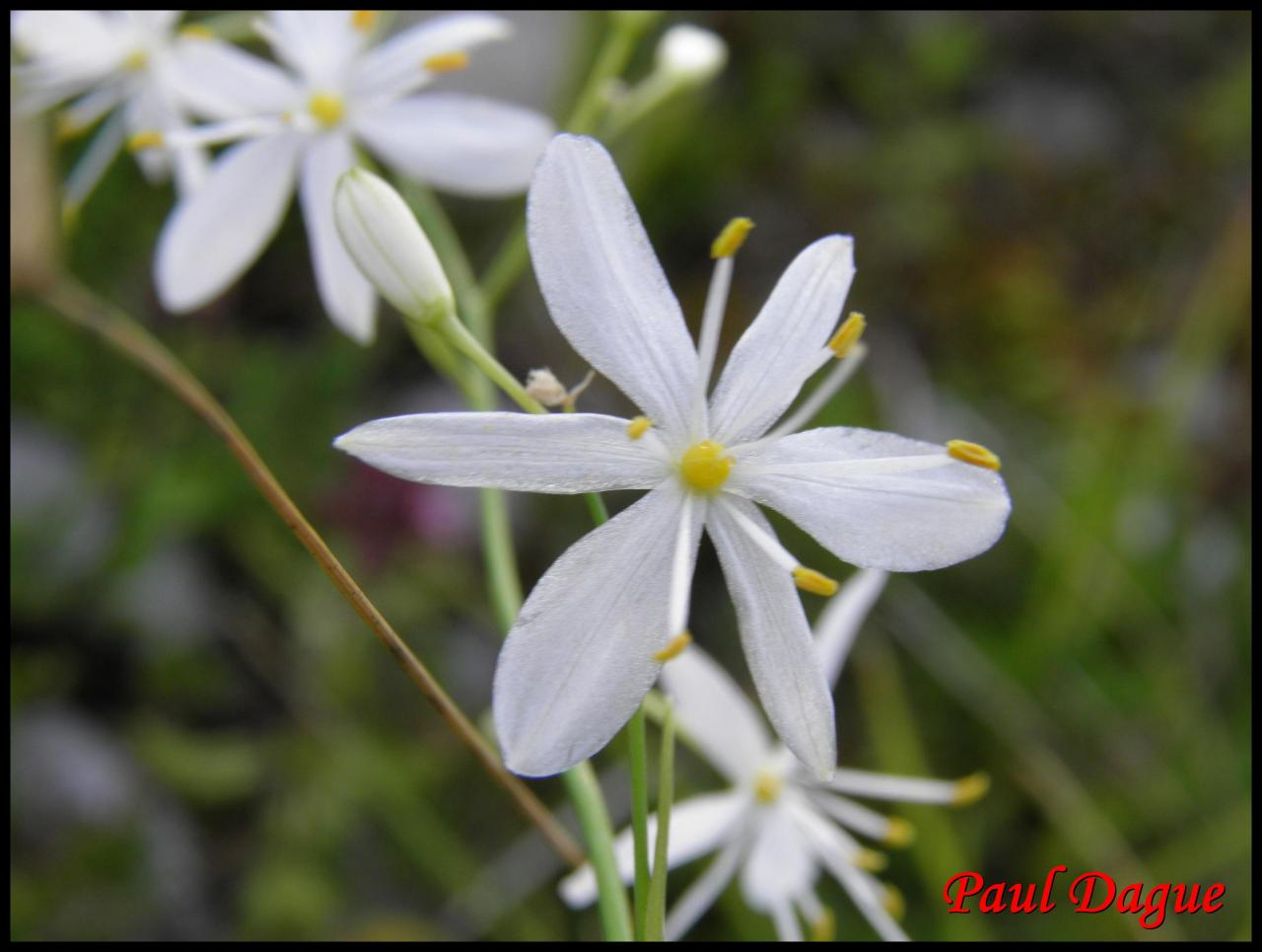 anthéric rameux-anthericum ramosum-anthéricacée
