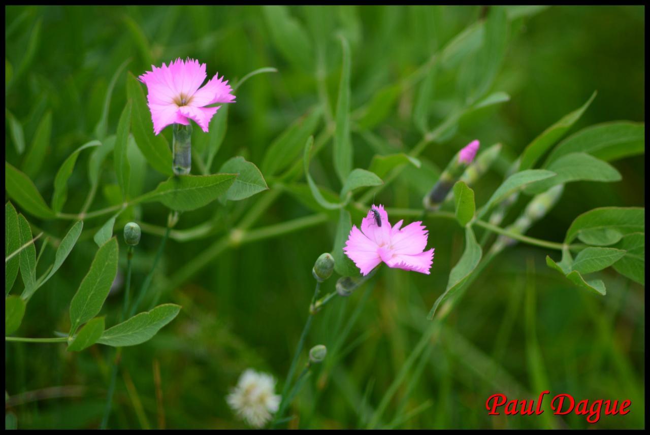oeillet des rochers-dianthus sylvestris-cariophyllacée