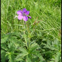 géranium des bois-geranium sylvaticum-geraniacée (2)