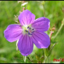 géranium des bois-geranium sylvaticum-geraniacée