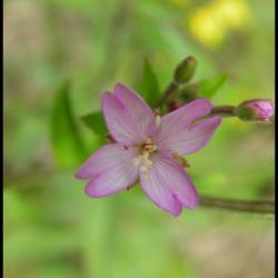 épilobe à petites fleurs-epilobium parviflorum-onagracée