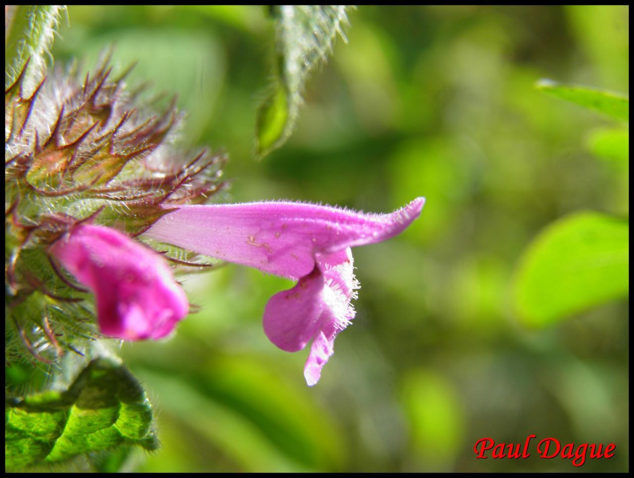 sariette clinopode-clinopodium vulgare-lamiacée