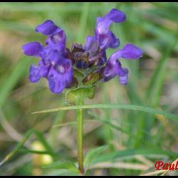 brunelle commune-prunella vulgaris-lamiacée