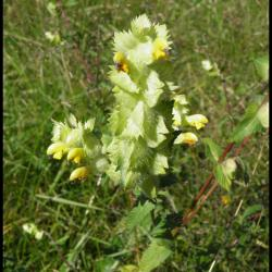 104 rhinanthe crete de coq rhinanthus alectopolophus scrophulariacee