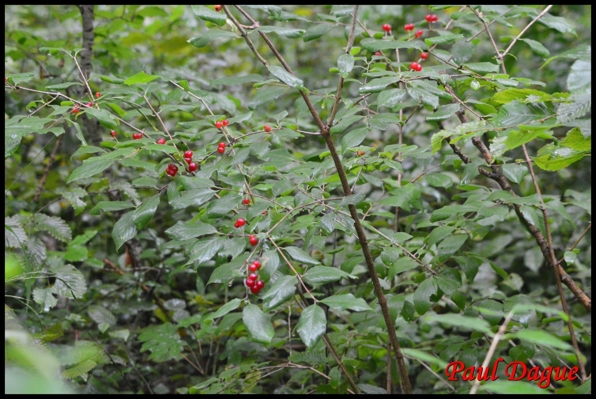 11 chevre feuille des haies lonicera xylasteum caprifoliacee