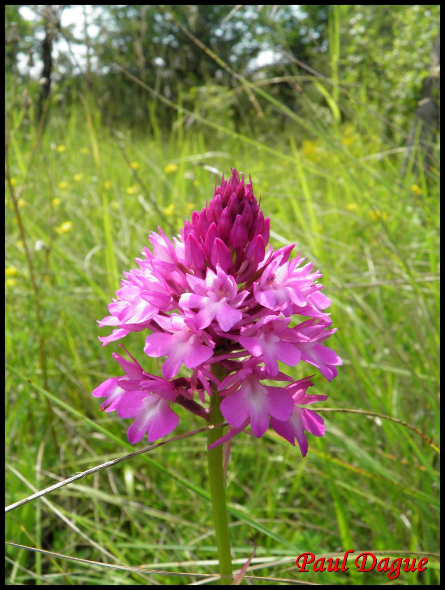 110 orchis pyramidal anacamptis pyramidalis orchidacee