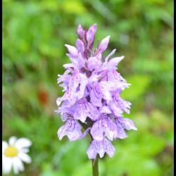 111 orchis de fuchs dactylorhiza fuchsii orchidacee