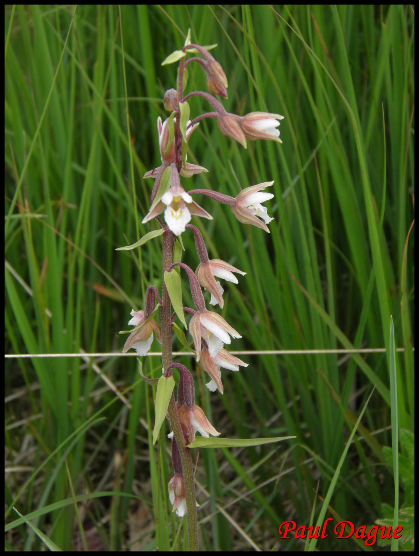 113 epipactis des marais epipactis palustris orchidacee