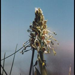 114 orchis a odeur de bouc himantoglossum hircinum orchidacee