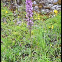 115 orchis moucheron gymnademe a long eperon gymnadenia conopsea orchidacee