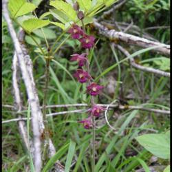 116 epipactis pourpre noiratre epipactis atrorubens orchidacee