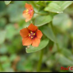 118 mouron des champs anagallis arvensis primulacee