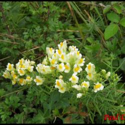 119 linaire commune lineria vulgaris scrophulariacee