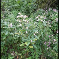 121 balsamine de l himalaya impatiens glandulifera balsaminacee