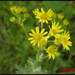 122 seneçon a feuilles de roquette senecio erucifolius asteracee