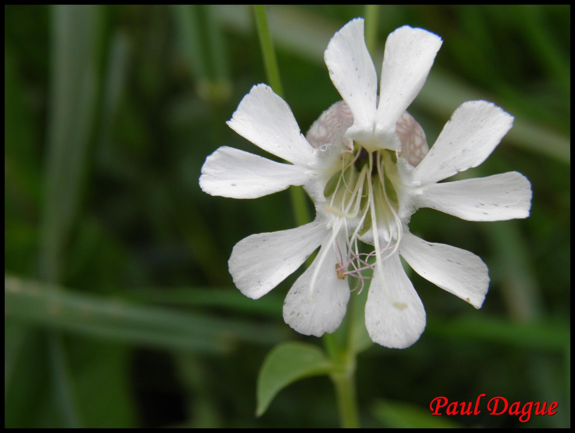 131 silene enfle silene vulgaris caryophyllacee
