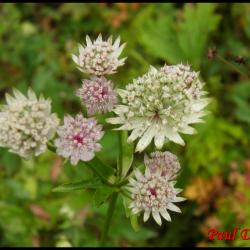 133 grande astrance astrantia major apiacee