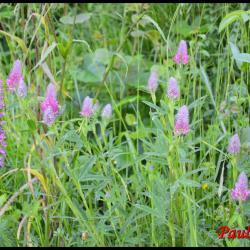 134 trefle rouge trifolium rubens fabacée
