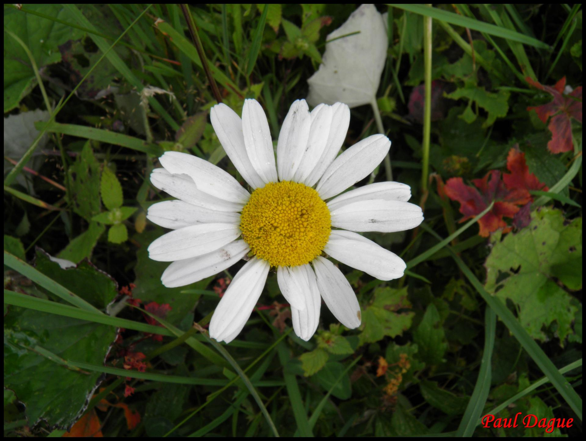 135 marguerite leucanthenum vulgare asteracee 3 resultat 2