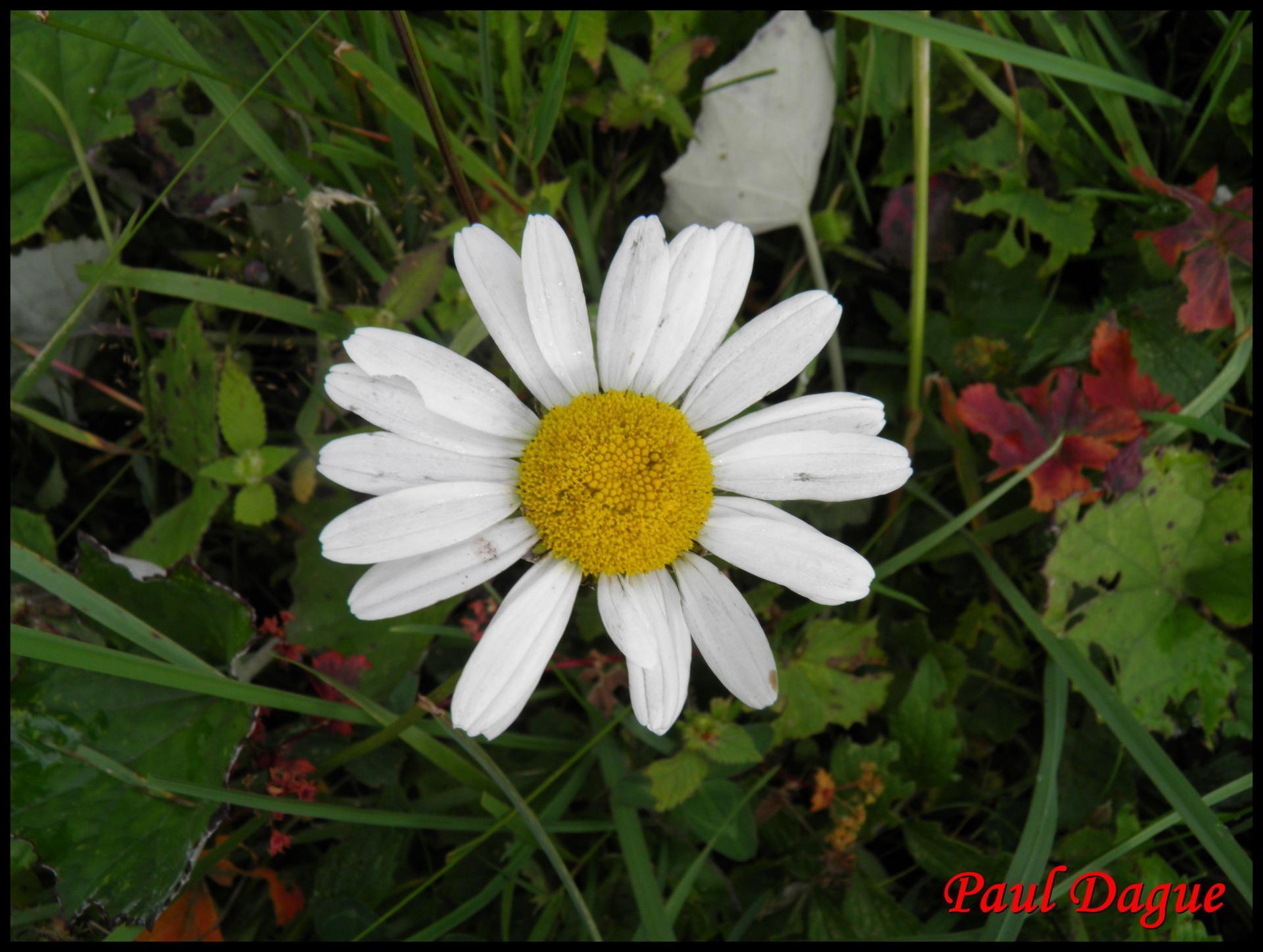 135 marguerite leucanthenum vulgare asteracee