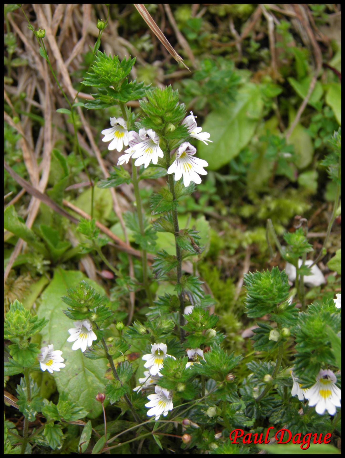 138 euphraise officinale casse lunette euphrasia officinalis scrophulariacee