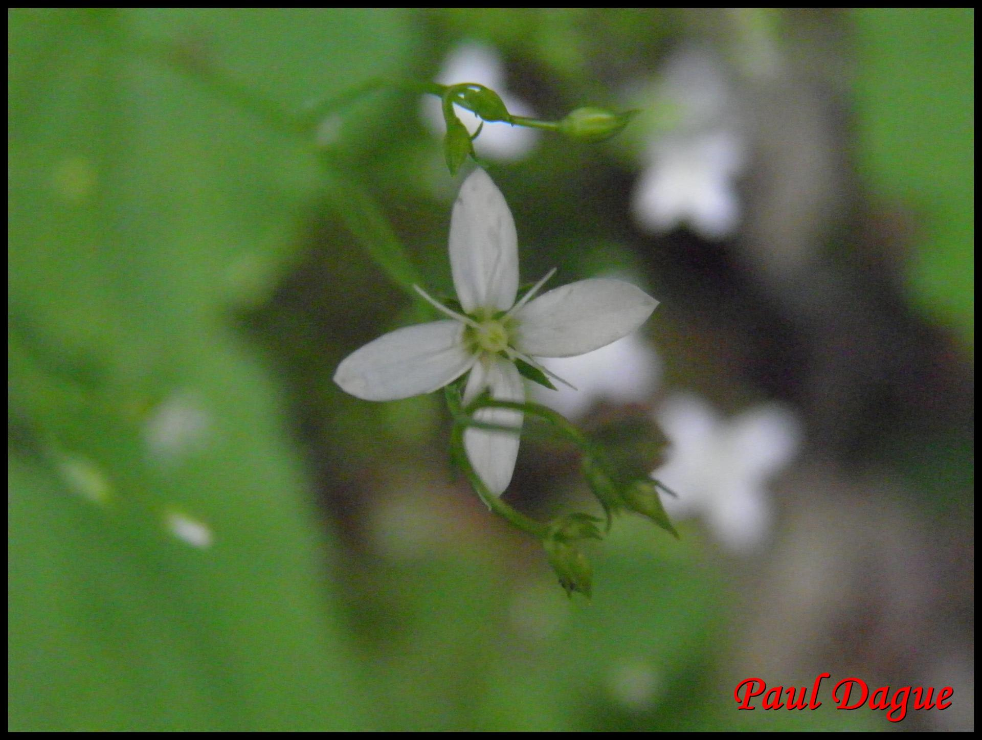 139 moehringe mousse moehringia muscosa caryophyllacee