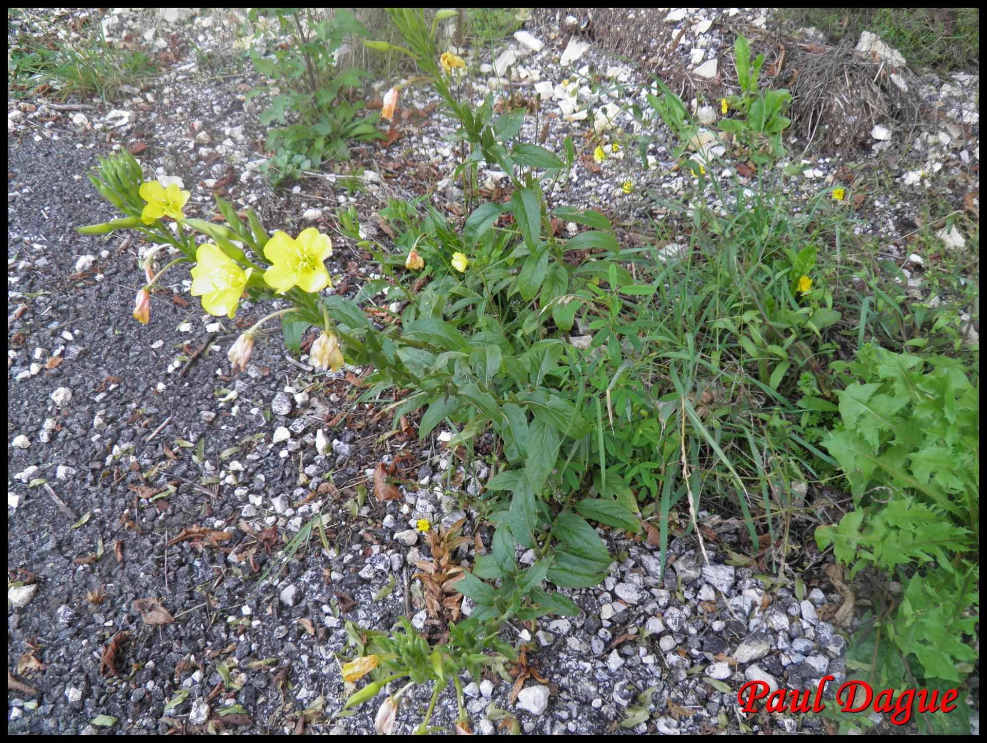142 onagre bisannuelle oenothera biennis onagracee