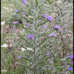 146 viperine commune echium vulgare boraginacee