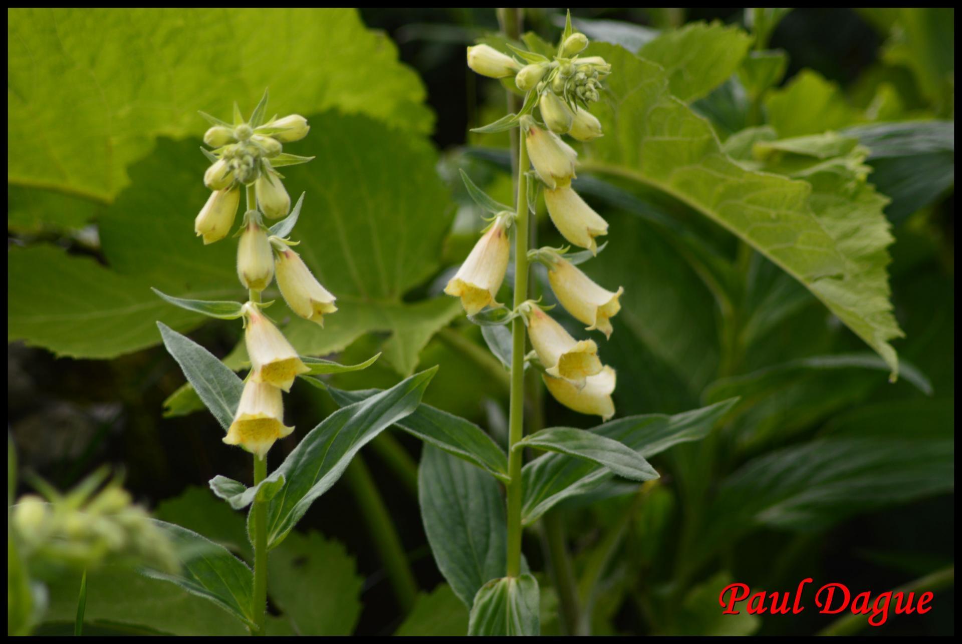 15 digitale a grandes fleurs digitalis grandiflora scrophulacee