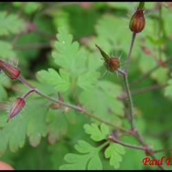 151 herbe a robert geranium robertianum geramiacee